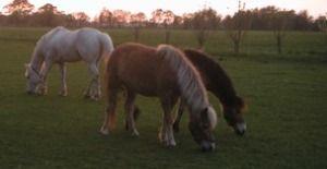 loppfrön häst dosering
